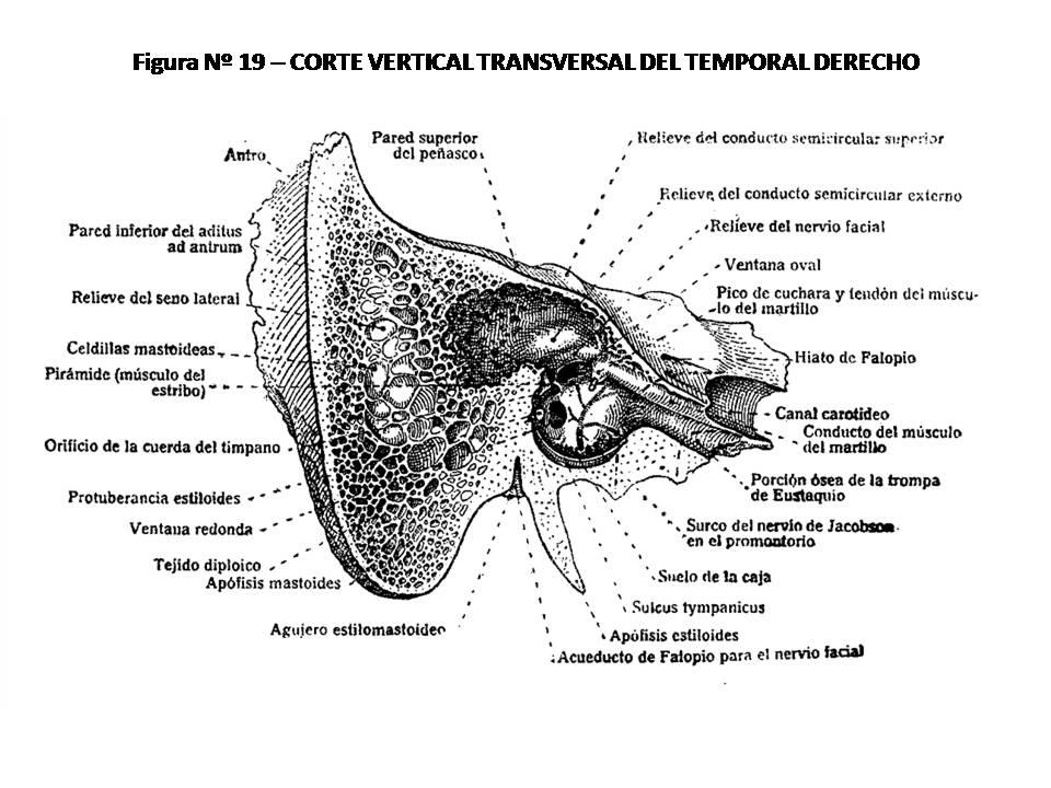 Increíble Anatomía Del Hueso Temporal Viñeta - Imágenes de Anatomía ...