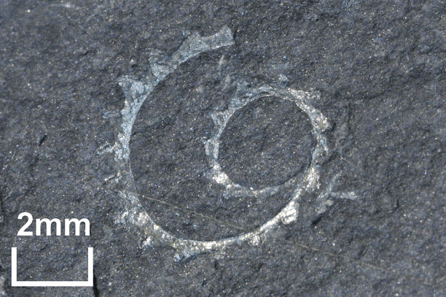 A fossil specimen of Torquigraptus linterni sp. nov. A fossil graptolite. (Graptolithina). Pot Burn, Ettrick Valley, Southern Uplands, Selkirkshire, Scotland.  Torquigraptus linterni sp. nov. is an Ordovician graptolite from the Birkhill Shales, Moffat Shale Group. British Geological Survey Biostratigraphy Collection number GSE 15158. The specimen has a coiled uniserial rhabdosome. The type area of the Birkhill Shales is the famous Dobb's Linn near Birkhill Cottage at the head of Moffat Water. The Birkhill Shales is a series of black graptolitic mudstones found in bands between 0.1 and 0.3 metres thick overlain by alternations of black and grey mudstones. It is famous for its graptolite fauna. Graptolites are of value in geology as stratigraphic indicators and the sequence of graptolite faunas has been used for the subdivision of the Ordovician and the Silurian rocks since the time of Charles Lapworth