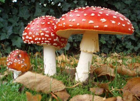 champignons-veneneux