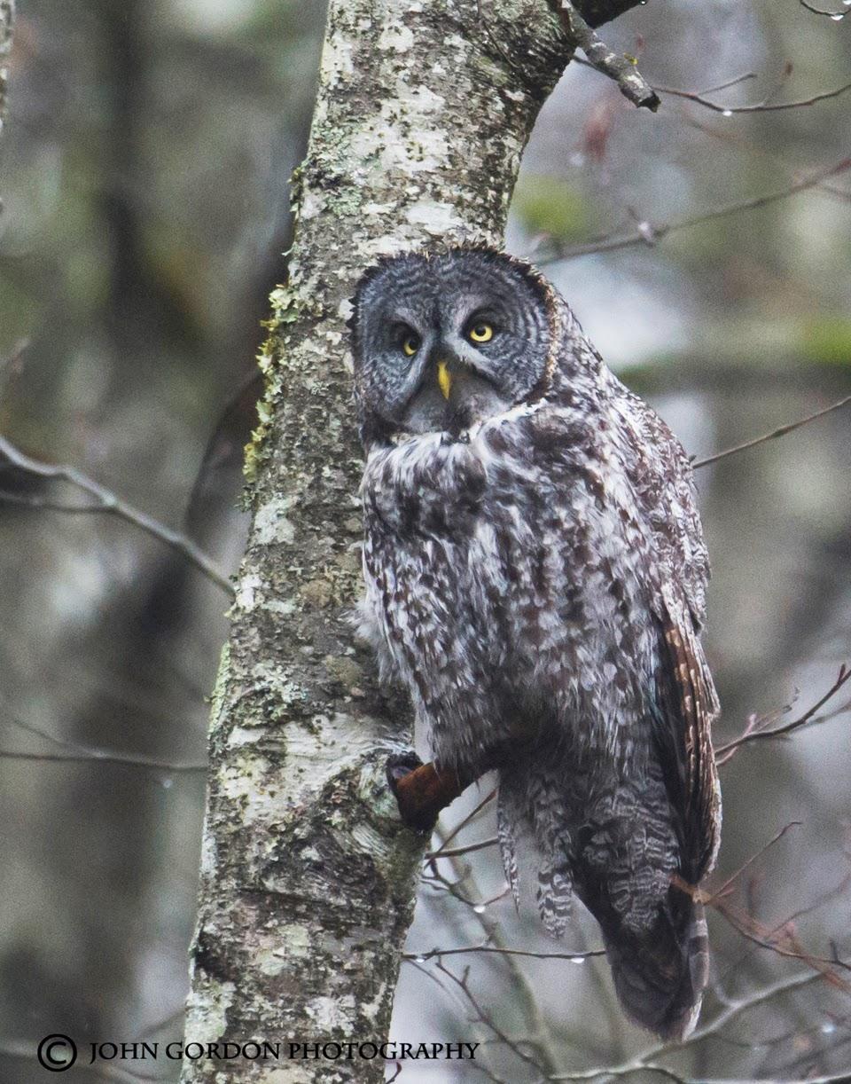 John Gordon/Listening to Birds: The Great Gray Owl Twitch