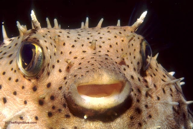 Spotted porcupinefish (Diodon hystrix)