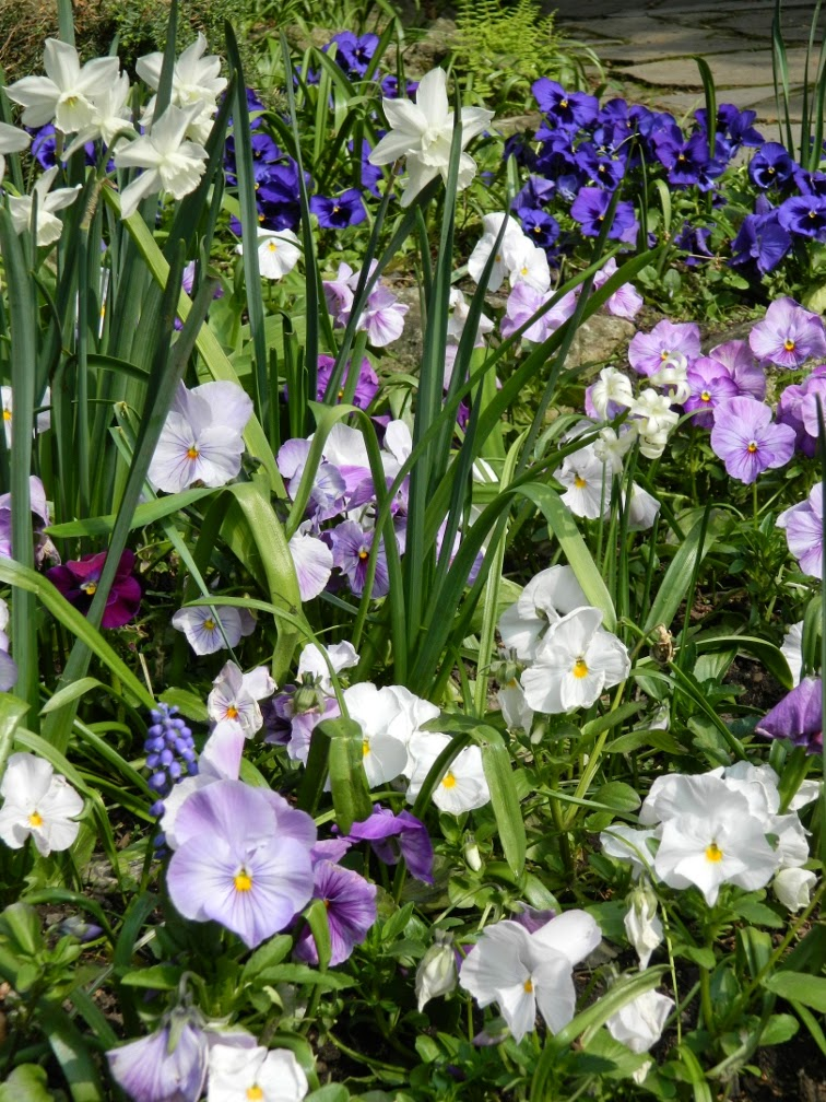 Blue violas pansies white narcissus James Gardens Etobicoke by garden muses-not another Toronto gardening blog