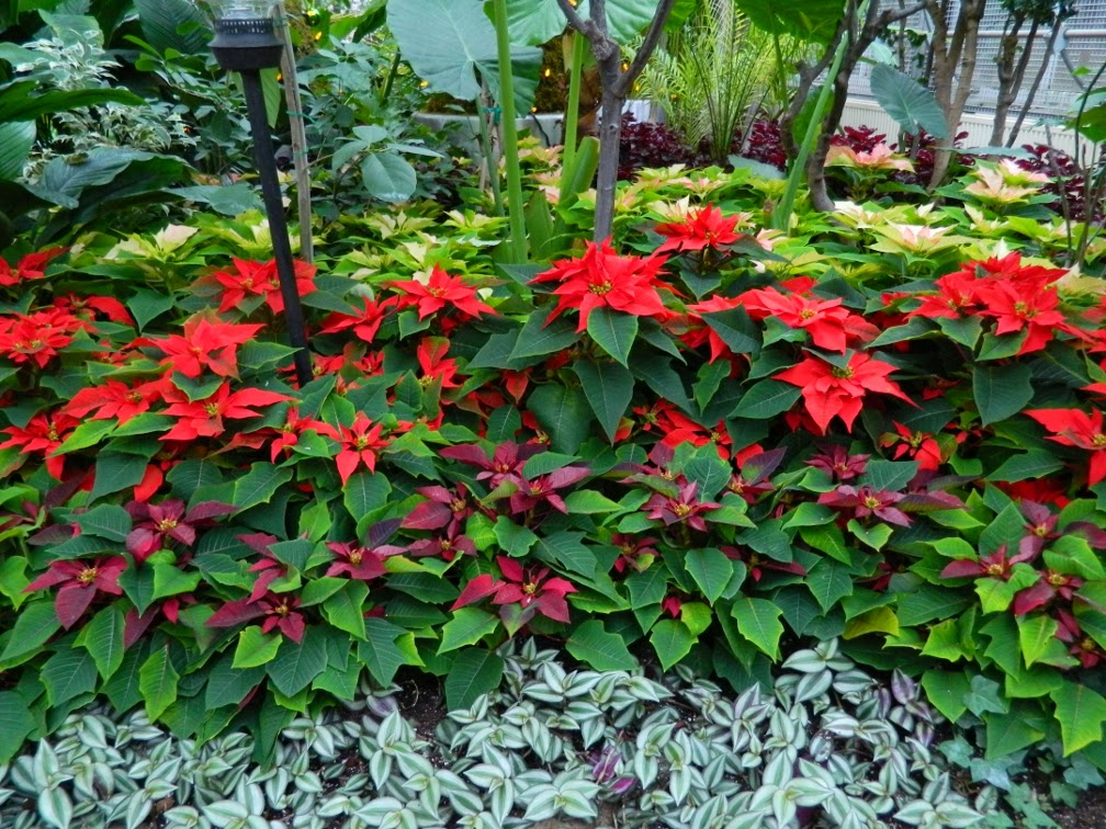 Allan Gardens Conservatory Christmas Flower Show 2013 red poinsettias by garden muses: a Toronto gardening blog
