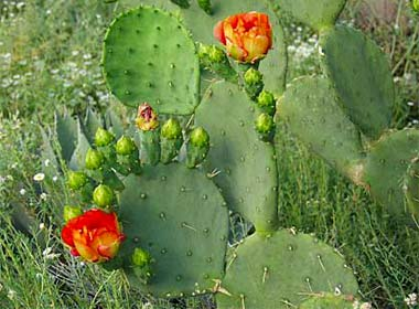 prickly pear cactus fruit how to eat