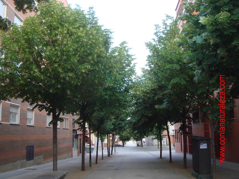 Flora urbana de getafe tilo for Lista de arboles de hoja caduca