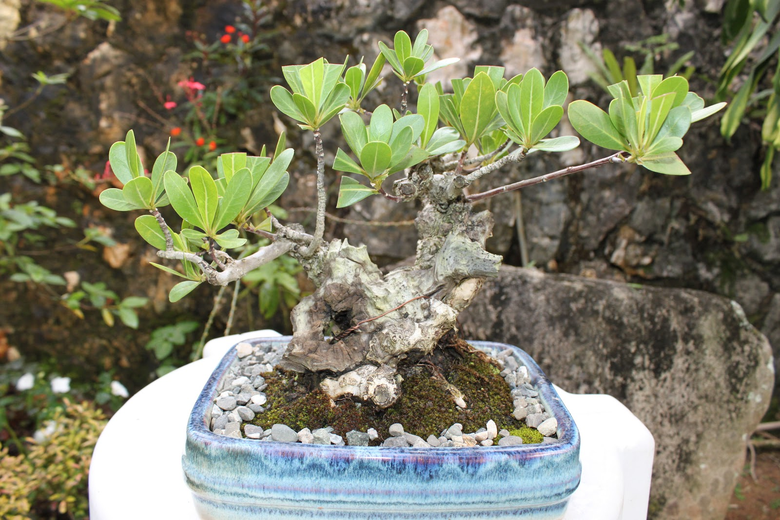 Beautiful BONSAI Amjamin