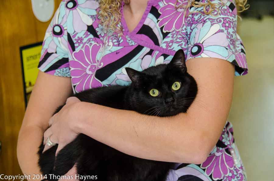 adoptable SARG cat, black, bright green eyes