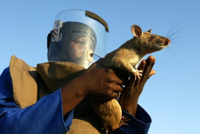 rata atrapada por un hombre
