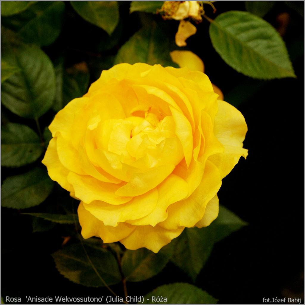 Rosa  'Anisade Wekvossutono' (Julia Child) - Róża