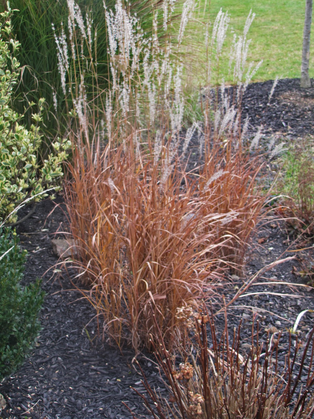 red ornamental grasses