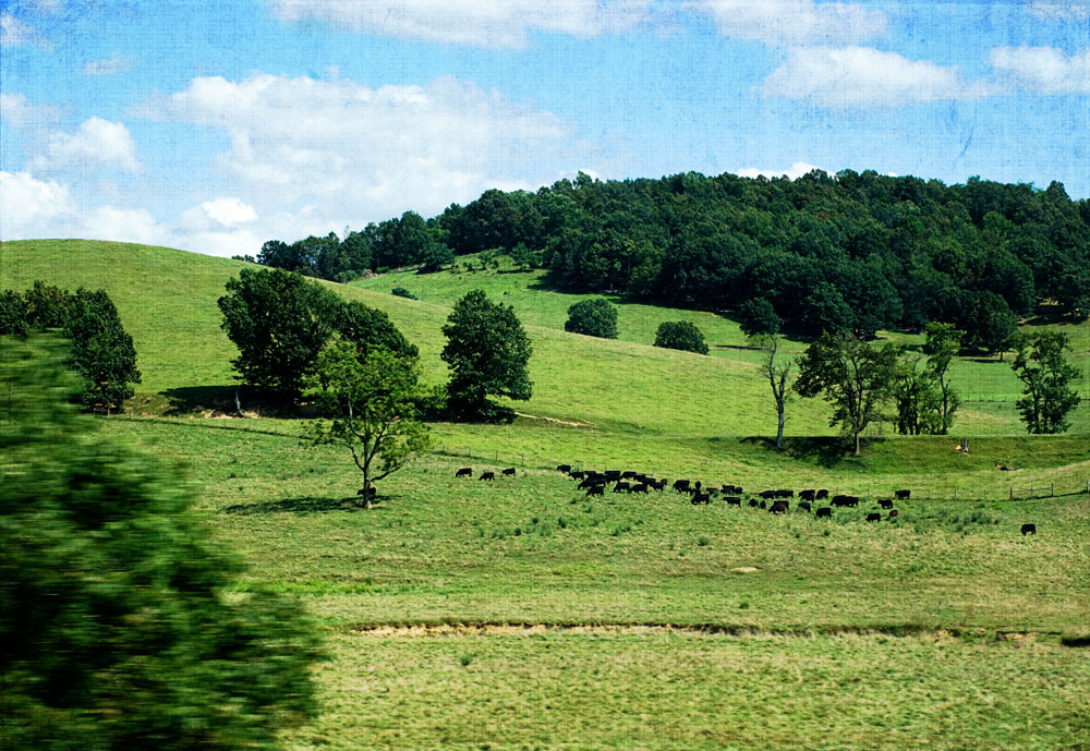 green rolling hills with cows grazing