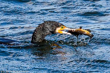 Cormorán pescando