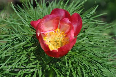 Пион тонколистный розовый (Paeonia tenuifolia rosea)