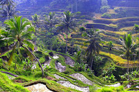 Famous rice paddies in Ubud