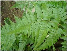 Struktur, klasifikasi dan Manfaat Tumbuhan Paku (Pteridophyta)