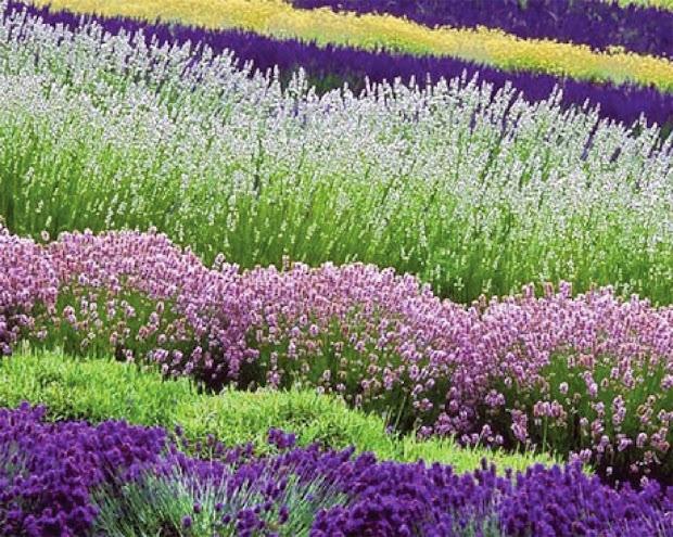 lavender hedging plants