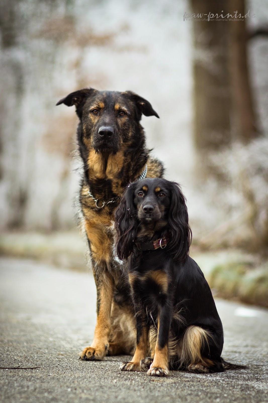 Inuki und Skadi, deutscher Schäferhund und Working Cocker Spaniel