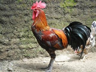 Bisnis Ayam Pelung
