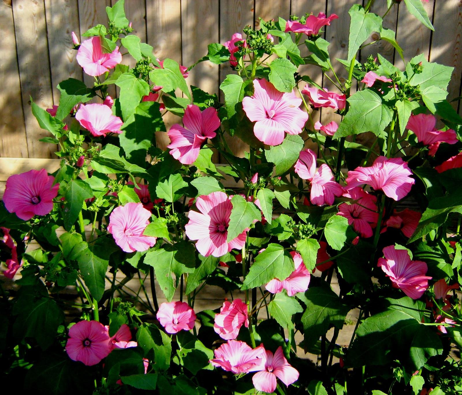 Лаватера белая фото цветов