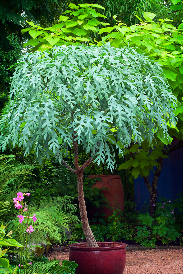 Cussonia paniculata for Trees garden of jane delawney blogspot