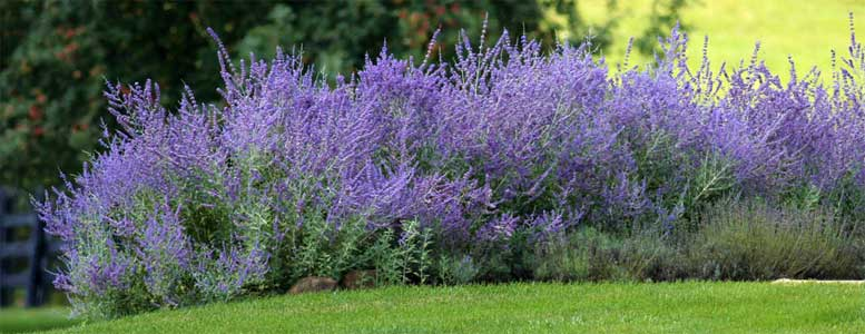 Landscaping With Russian Sage see Russian Sage blooming