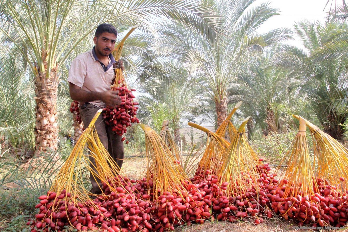 dates harvest
