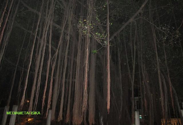 Misteri Pohon Tua TPU Jeruk Purut