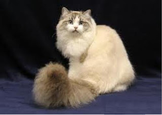ragamuffin pets cat pussycat kitten breeds picture