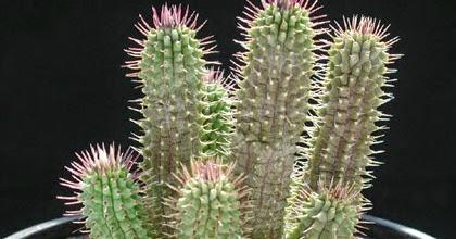 Le hoodia gordonii le petit cactus coupe faim - Coupe faim sur ordonnance ...