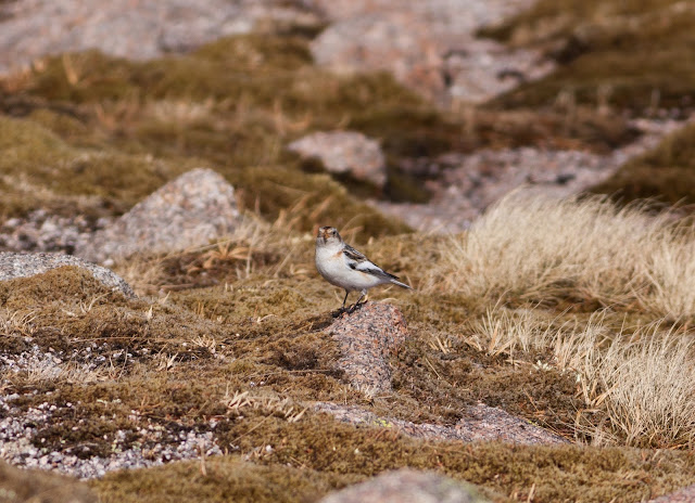 Snow Bunting, Cairngorms