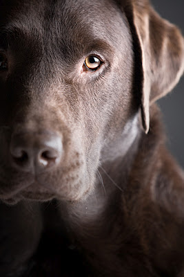 A very handsome chocolate labrador looking straight into the camera