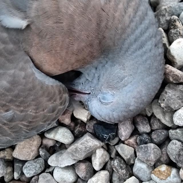 En død due