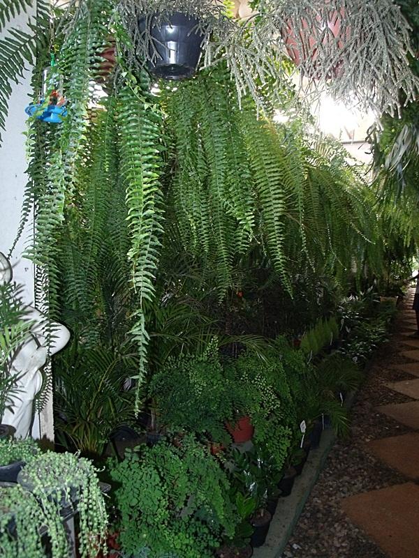 Fênix Plantas e Jardins SAMAMBAIAS Como cuidar