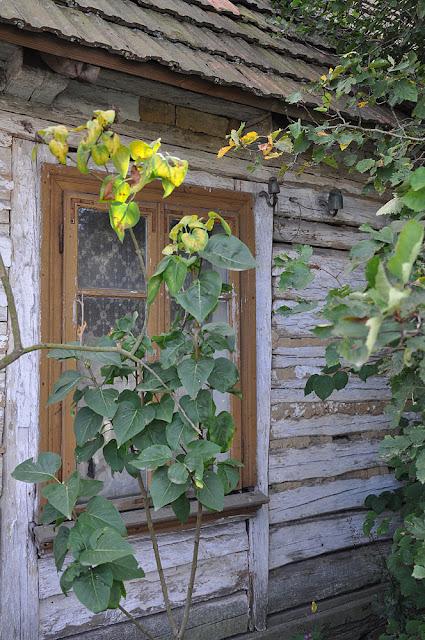 Wąsosz Nowiny, zachowana chałupa położona naprzeciwko getta - sielski obrazek. Fot. KW.