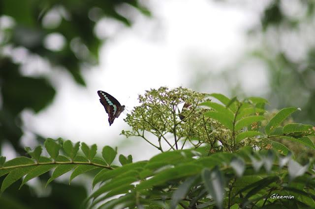 雞南山散步,青鳳蝶