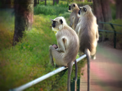 Gray Langurs with a new born baby langur