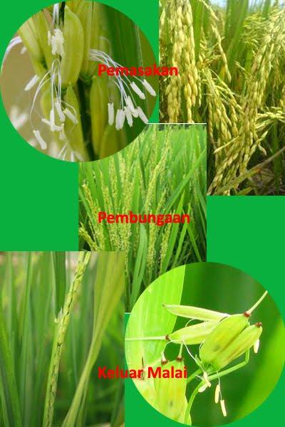 Gigih Bertani Fase Stadia Pertumbuhan Tanaman Padi