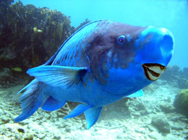 fish index blue parrotfish scarus coeruleus