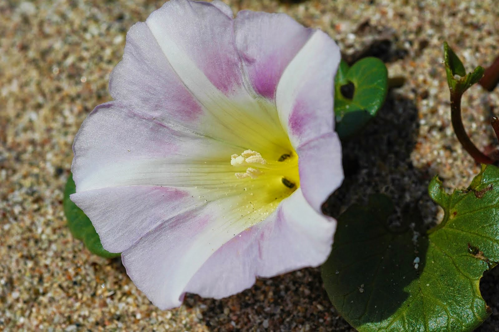 Beach Morning Glory Calystegia soldanella 6088