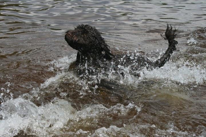 Vesikoira vedessä