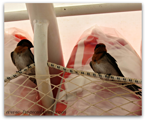 Swallows stowing away in the lifejackets on a riverboat cruise
