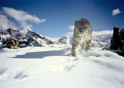 Snow Leopard Panthera uncia stock photo
