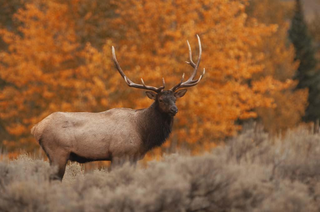 Wallpaper sea elk wallpaper - Elk hunting wallpaper ...