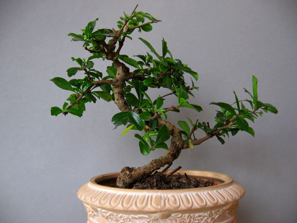 bonsai pflege carmona macrophylla bonsai. Black Bedroom Furniture Sets. Home Design Ideas