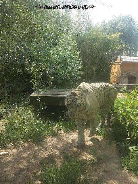 Tigre Blanc qui marche à Touroparc