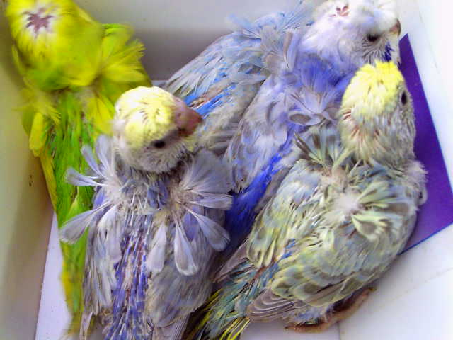 Birdsplanet pakistans no1 birds forum pet store awesome soft food recipe for budgerigar and lovebirds and finches forumfinder Gallery