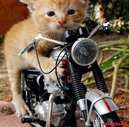 Photo chat sur un moto trop mignon et drôle