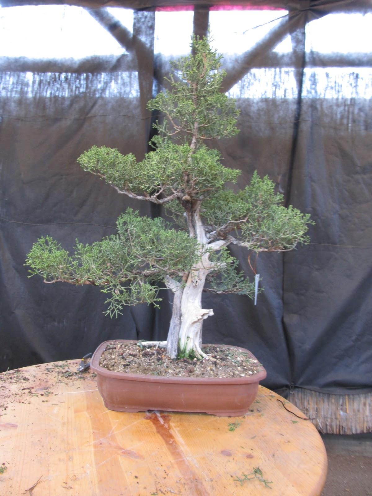 Bonsaibp39s Bonsai Blog 11 01 2011 12 01 2011