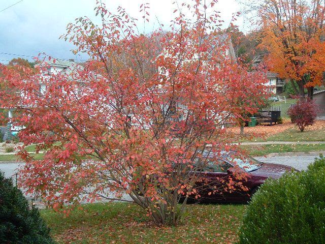 Autumn color of Serviceberry