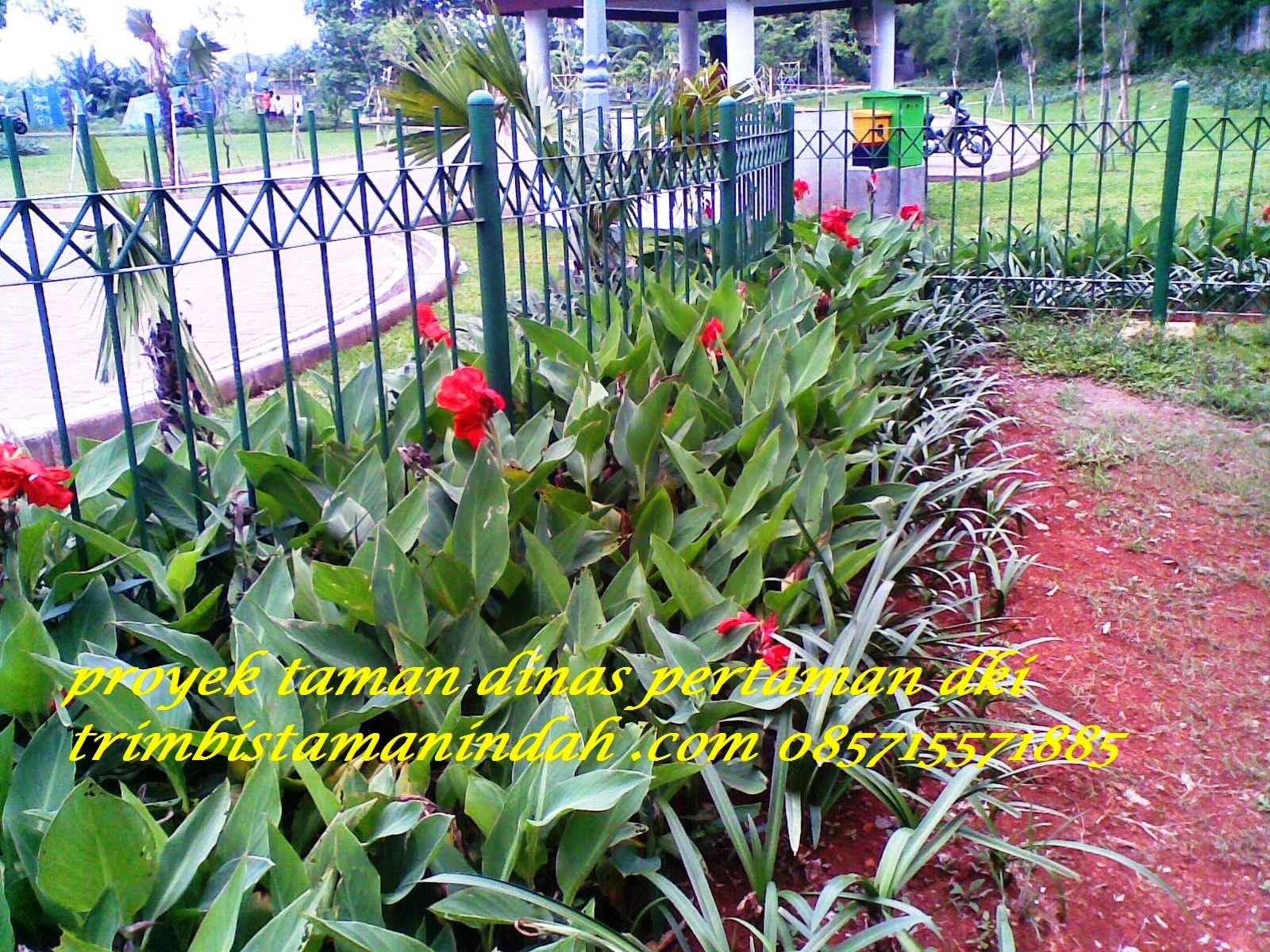pohon kana residen presiden 085715571885 tukang taman